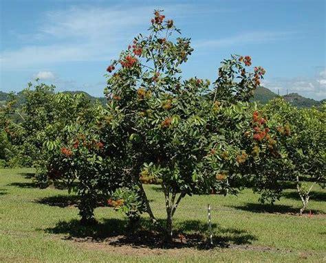 gambar ilustrasi buah rambutan