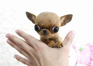 Chihuahua Micro Teacup Puppy | Flickr - Photo Sharing!