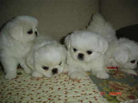 pekingese puppies sold  years  months white pekingese