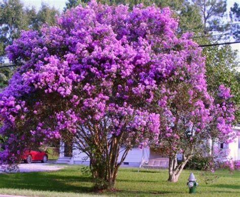 summer flowering trees summer flowering trees collection on ebay