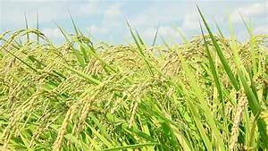 Rice Plant Stock Footage Video 2808979