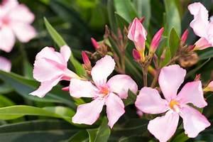 Oleander Winterhart Kaufen : oleander italia nerium oleander g nstig online kaufen ~ Eleganceandgraceweddings.com Haus und Dekorationen