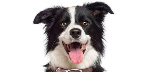 dog food  border collies daily dog