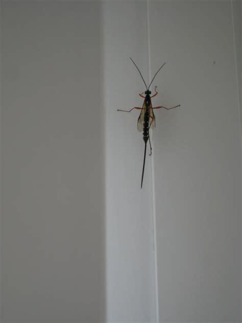 ist das fuer ein insekt mit riesigem stachel insekten