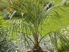Die Schönsten Palmenarten Für Den Wintergarten Mein
