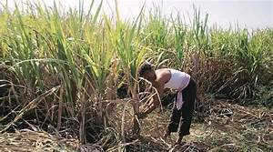 From the drought zone: Sugarcane becomes fodder for ...