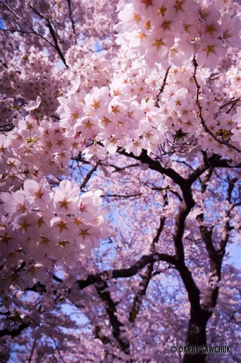 blossomed tree 25 best ideas about japanese cherry tree on pinterest japanese blossom cherry blossom 2016