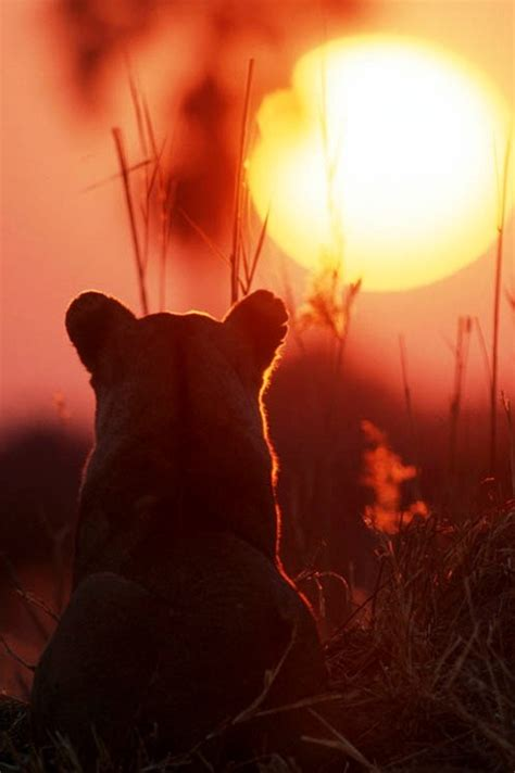 lion cub  sunset sun rise sun set  moon beams
