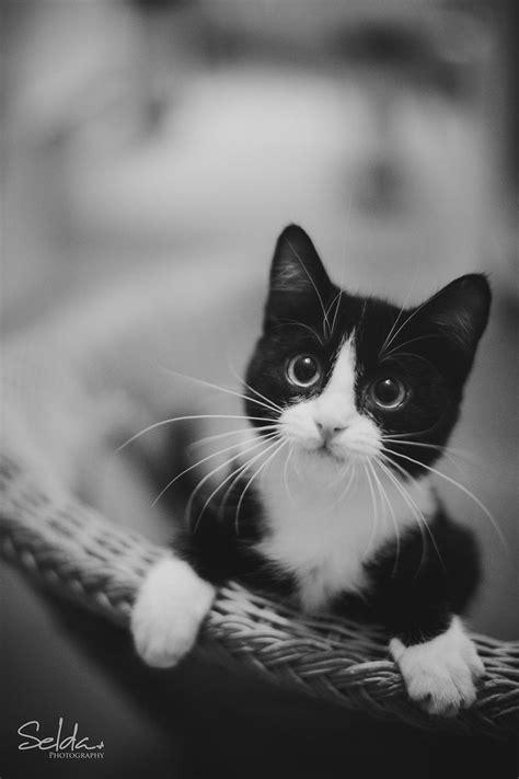 Best 25 Tuxedo Cats Ideas On Pinterest Tuxedo Kitten