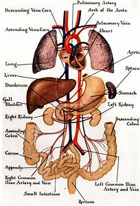 Funny Pictures Gallery: Organs, internal organs diagram ...