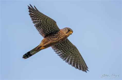 Kestrel  Nature Enthusiastic