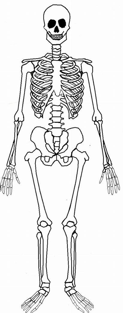 Skeleton Human Skeletal Parts Bones System Bone