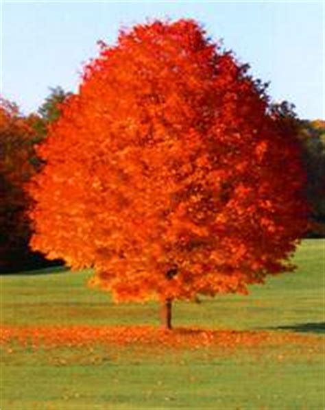 best maple trees for fall color best shade tree for fall color maple october glory review