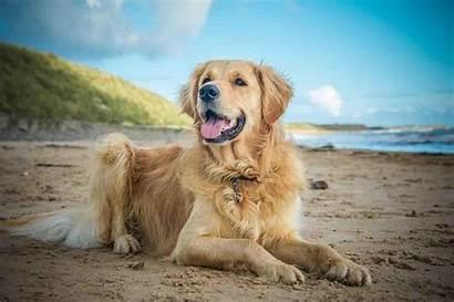 Golden Retriever Wallpapers Retrievers Dog Breeds Topdogtips