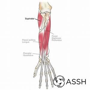 Body Anatomy  Upper Extremity Tendons