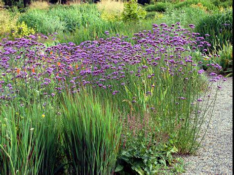 Plants Online Nursery by Verbena Bonariensis