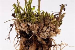 Hortensien überwintern Im Keller : dahlien pflanzen pflegen schneiden d ngen und mehr ~ Frokenaadalensverden.com Haus und Dekorationen