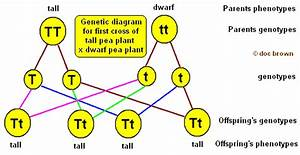 A Plant With The Genotype Tt Is Called  What Is Selfing Of