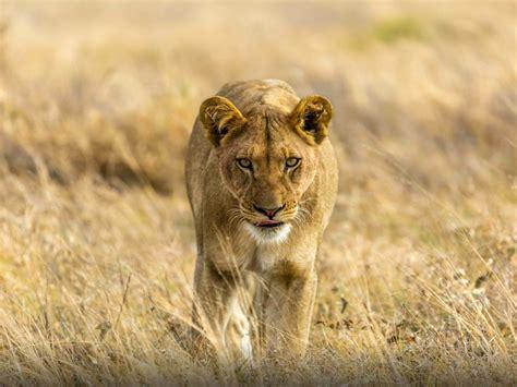 young lioness walk  savanna hd desktop wallpaper