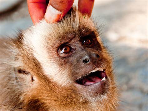 capuchin monkey pet justin bieber shouldn t have a pet monkey nat geo education blog
