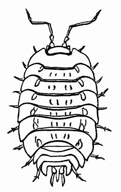 Wood Lice Clipart Louse Etc Usf Edu