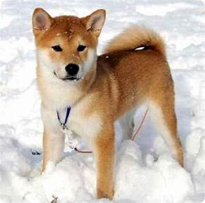 what i'm loving right now. | SHIBA INU dogs! they look ...