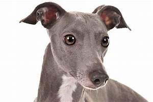 Italian Greyhound Dog Breed Information - American Kennel Club