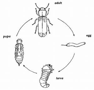 Life Cycle Of Powderpost Beetle   Figures 1 And 2