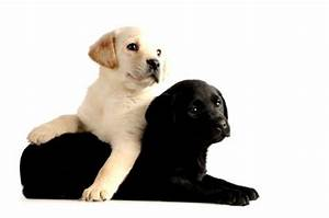 Black And White Labrador Retriever Puppies Photo - Happy ...
