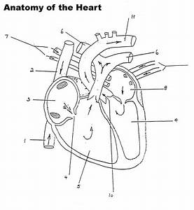 Human Heart Diagram Without Labels
