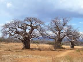 Baobab Tree Fruit
