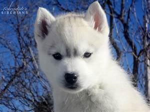 """Grey & white Siberian Husky Puppy! Her name is """"Greige ..."""