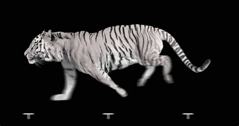 Animated Running Wallpaper - white tiger runs isolated and cyclic animation stock
