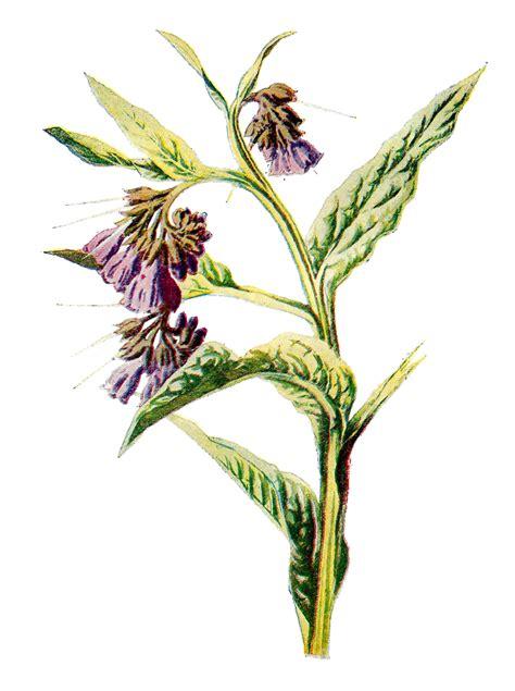 Antique Images Wildflower Artwork Free Illustrations