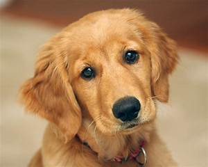 Golden Red River : 10 best golden retriever names ~ Orissabook.com Haus und Dekorationen