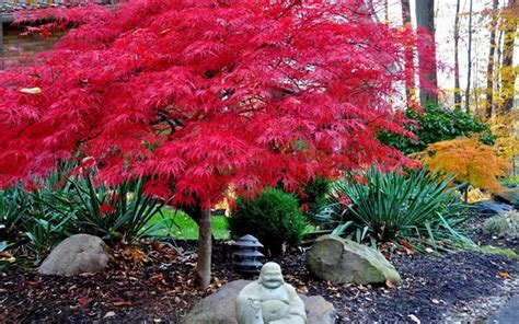 buy red dragon dwarf japanese maple   wilson