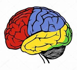 Human brain — Stock Vector © spirit-alex #18987495