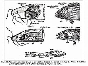 Accessory Respiratory Organs In Fishes