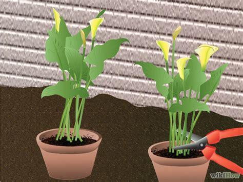 how to grow calla lillies 3 ways to grow calla lilies wikihow