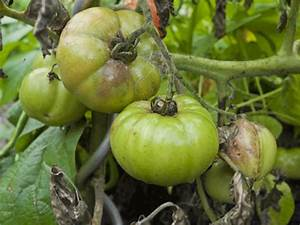 Was Kann Man Im August Noch Pflanzen : kraut und braunf ule bei tomaten ~ Lizthompson.info Haus und Dekorationen