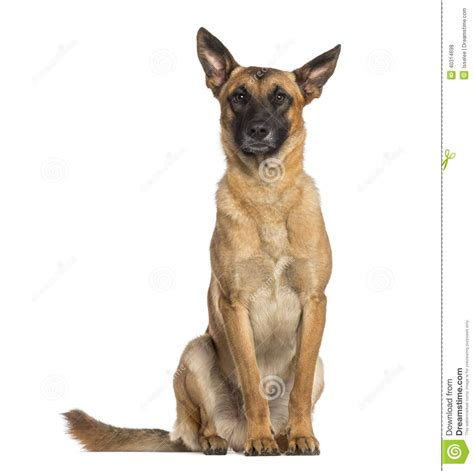 belgian shepherd dog sitting malinois stock photo