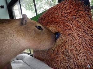 Capybara As A Pet Related Keywords & Suggestions ...