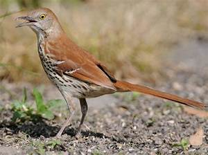 Brown Thrasher, Columbia, South Carolina Birds I've Seen