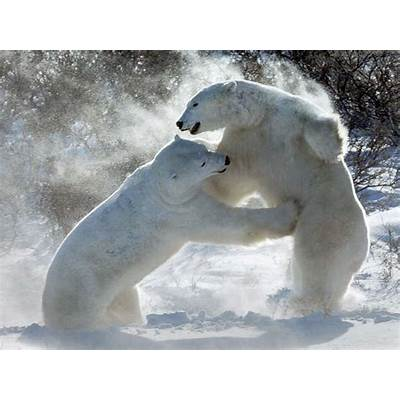 Polar Bears - National Geographic Education