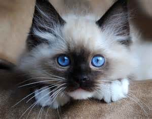 cutest cat breeds top 10 cutest cat breeds that will make you smile easyday