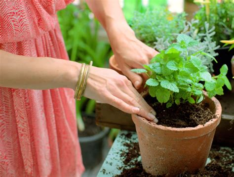 culture du thym en pot les erreurs 224 233 viter dans la culture des plantes aromatiques