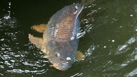 angeln im balaton rekordkarpfen gefangen blinker