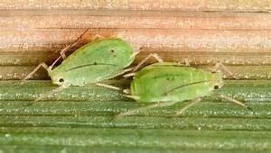 Schizaphis Graminum