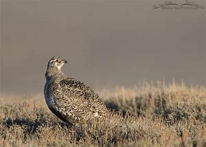 Greater Sage-Grouse in Wayne County, Utah – Mia McPherson ...