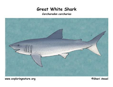 Great White Shark Diagram by Shark Great White